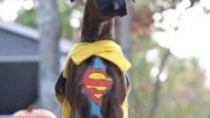 superboxer_Dog_Kent